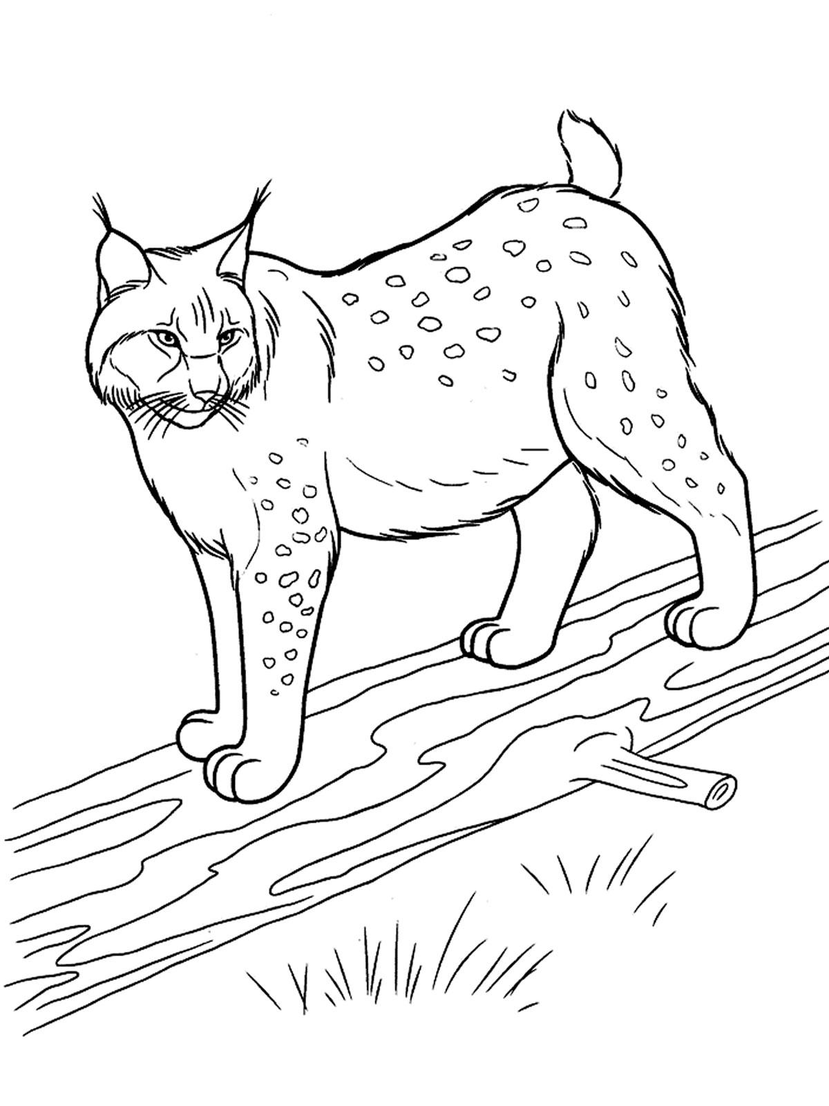 Раскраски лесные звери животные