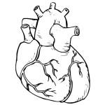 раскраска тело человека, раскраска сердце