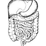 раскраска тело человека, раскраска кишечник