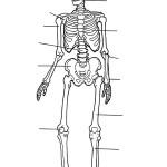 раскраска тело человека, раскраска скелет