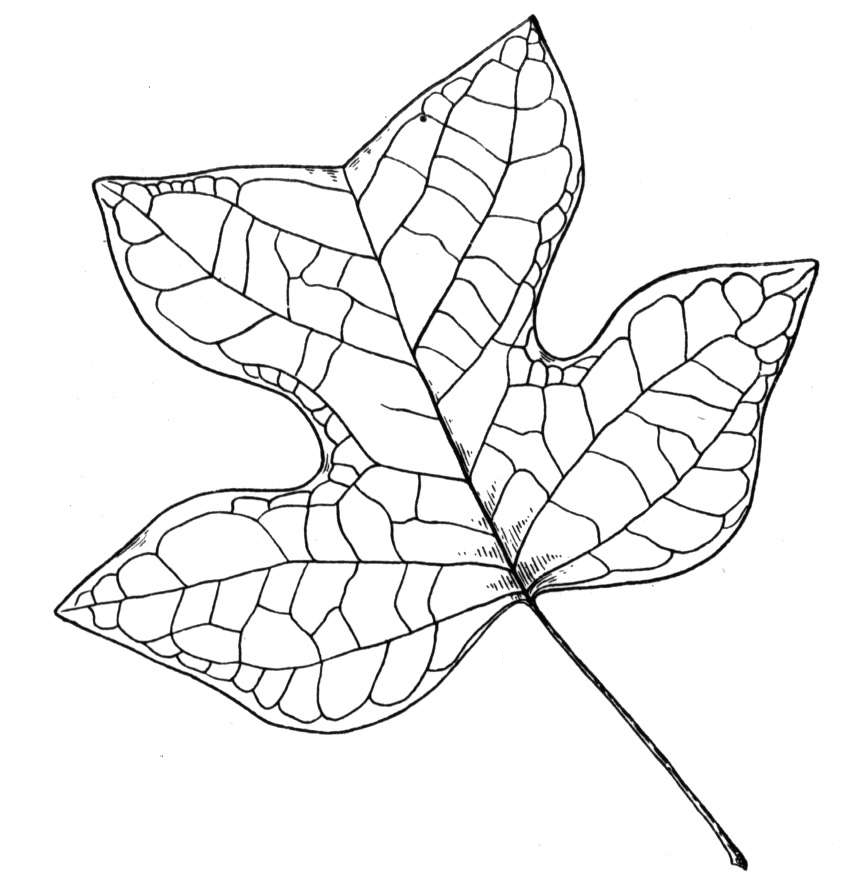Раскраски листья Скачать Распечатать