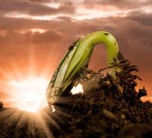 Как растет подсолнух из семечки